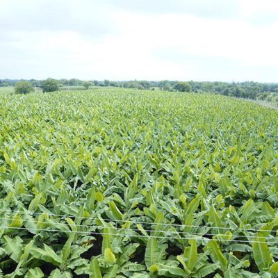 High Quality Banana Cultivation in India