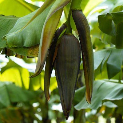 Cavendish G-9 bananas