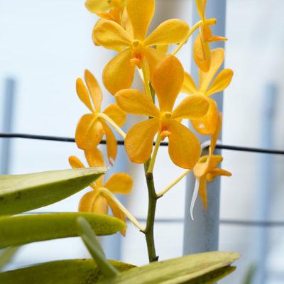 Mokara Orchids Plantation in India