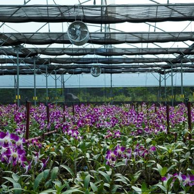 Orchids Suppliers in India