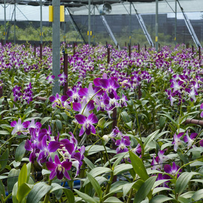 Buy Best Orchids in India