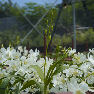 Best Orchids Suppliers in India