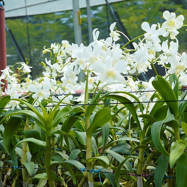 Orchid Plantation and Cultivation in India