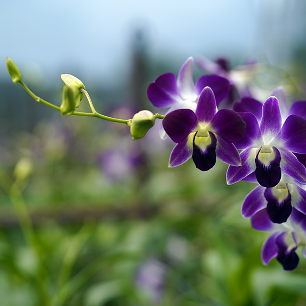 Dendrobium Orchids Plantation and Cultivation in India