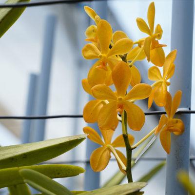 Mokara Orchids Plantation