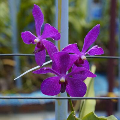 Mokara Orchids Exporters in India