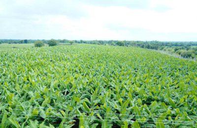 High Quality Banana Cultivation