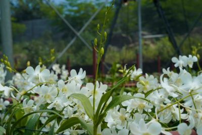 Dendrobium Orchids Suppliers in India