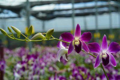 Dendrobium Orchids in India